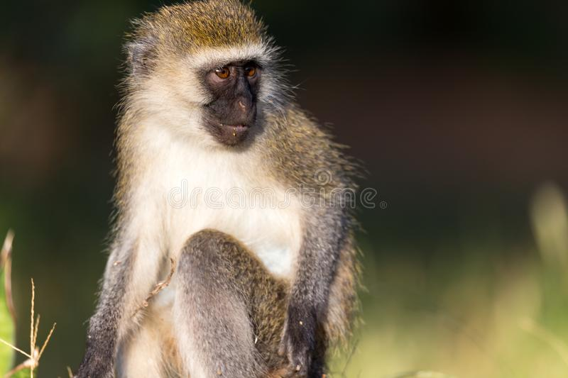 The portrait of a monkey in the savannah of Kenya. A portrait of a monkey in the savannah of Kenya royalty free stock image