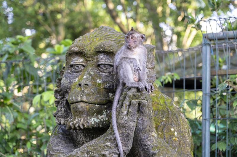 Portrait of a monkey sitting on a stone sculpture of a monkey at sacred monkey forest in Ubud, island Bali, Indonesia . Closeup stock image