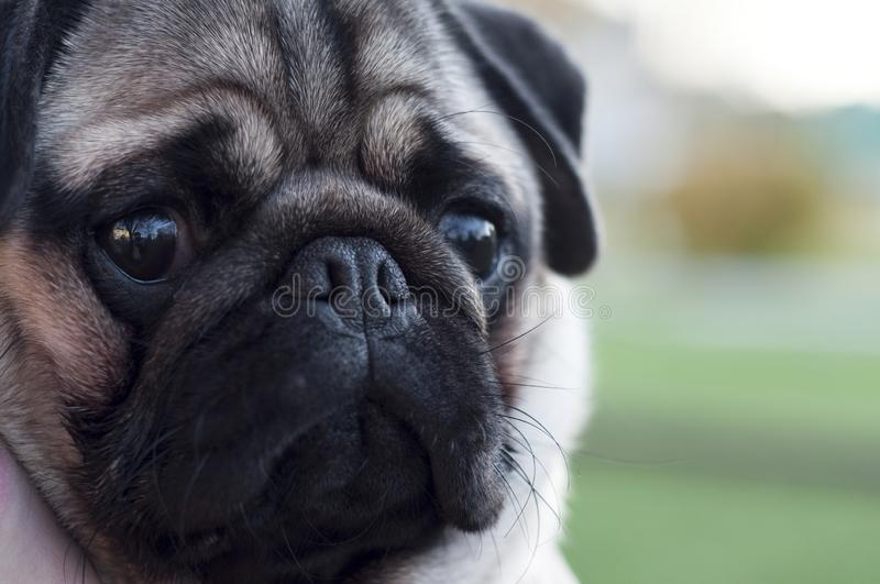 Portrait of an 8 month old pug puppy, cute funny face close up royalty free stock photo