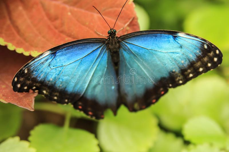 Portrait of Morpho Butterfly with open wings resting on a wild plant royalty free stock photo