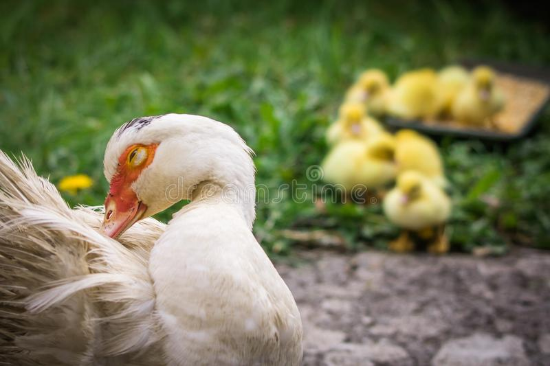 Portrait of mother muscovy duck and group of cute yellow fluffy baby ducklings in background, animal family concept stock photography