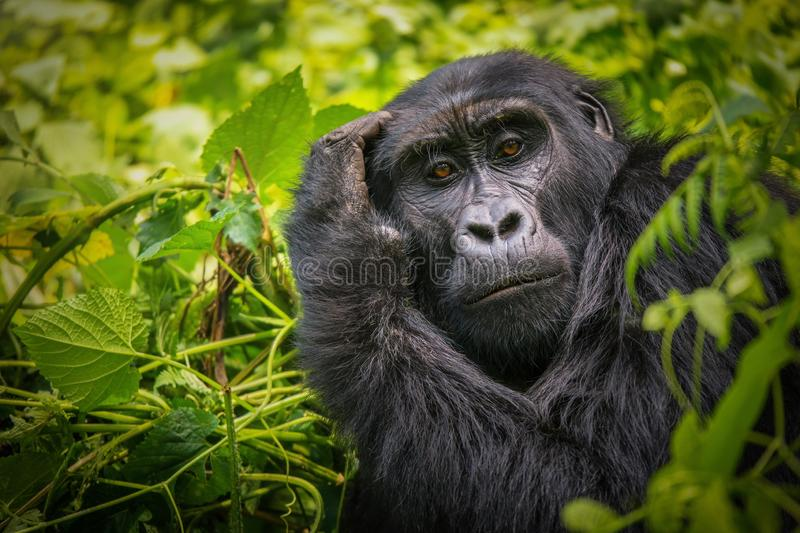 Portrait of a Mountain Gorilla. A close-up portrait of a female mountain gorilla, showing the details of her facial features, in its natural forest habitat in stock photography