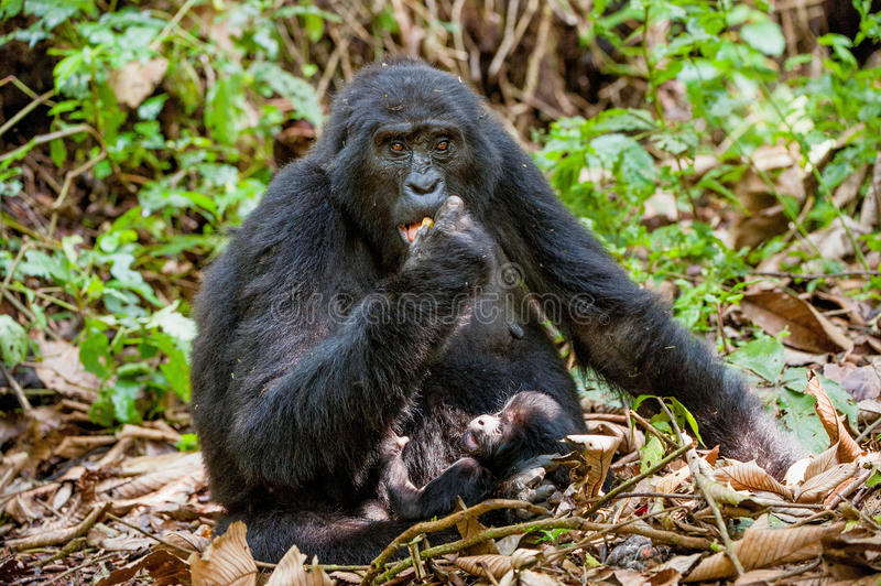 Portrait of a mountain gorilla with cub at a short distance. gorilla close up portrait. The mountain gorilla (Gorilla beringei beringei royalty free stock photography