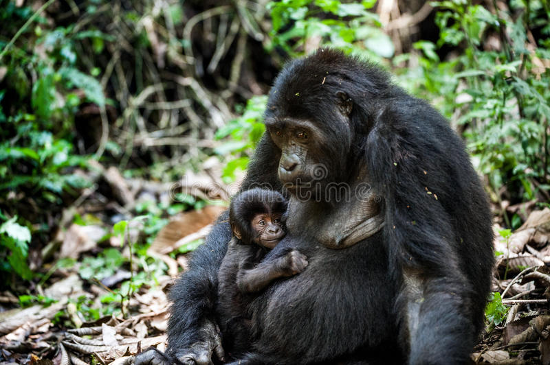 Portrait of a mountain gorilla with cub at a short distance. gorilla close up portrait. The mountain gorilla (Gorilla beringei beringei royalty free stock image