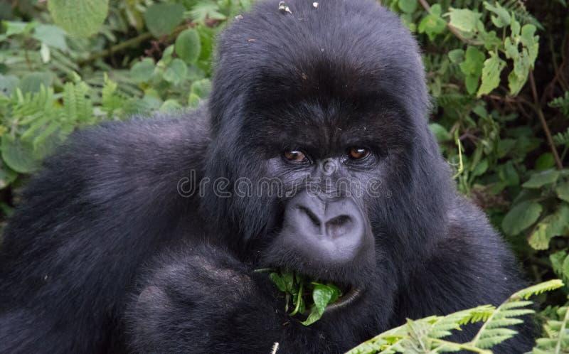 Portrait of Mountain Gorilla eating leaf in forest clearing Rwanda. Mountain Gorilla eating leaf in forest clearing national park Rwanda taken on trek to visit royalty free stock image
