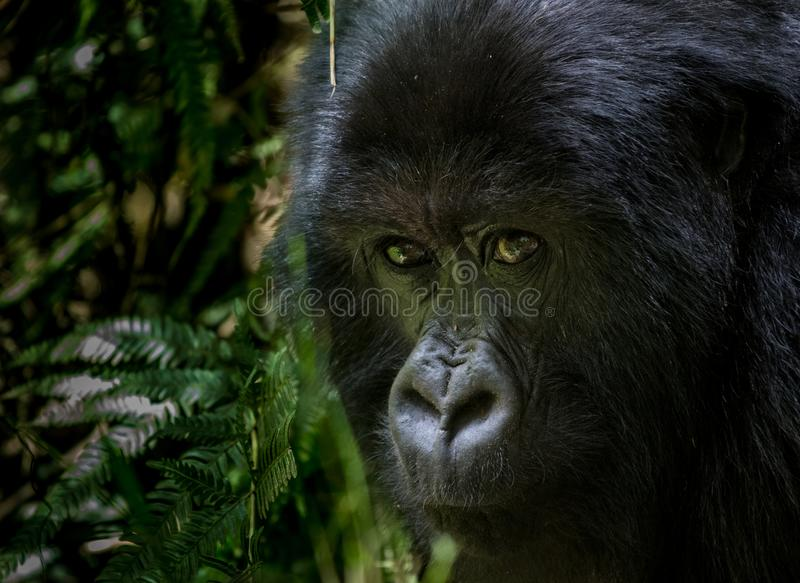Portrait of mountain gorilla. Taken in the mountain slopes in Volcanoes National Park, Rwanda royalty free stock image
