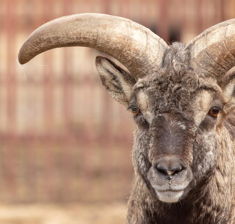 Portrait of a mountain sheep in a zoo.  stock image