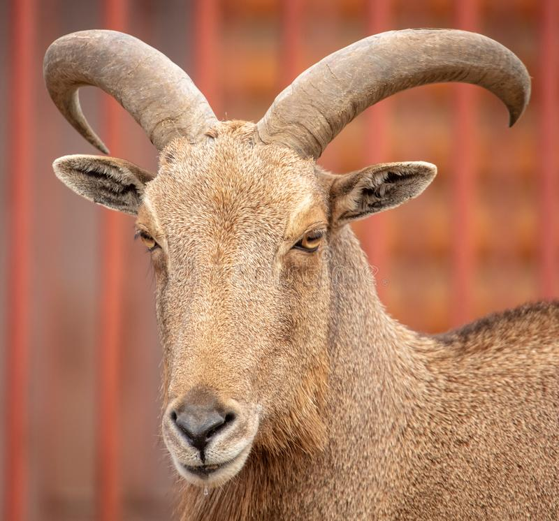 Portrait of a mountain sheep in a zoo.  royalty free stock photography