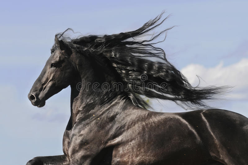 Portrait of moving friesian black horse royalty free stock images