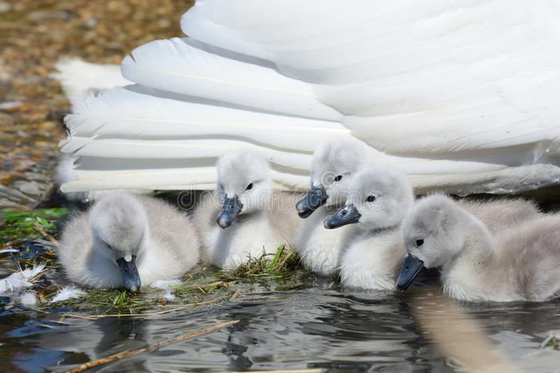 Mute swan cygnets with their mother in the water royalty free stock image