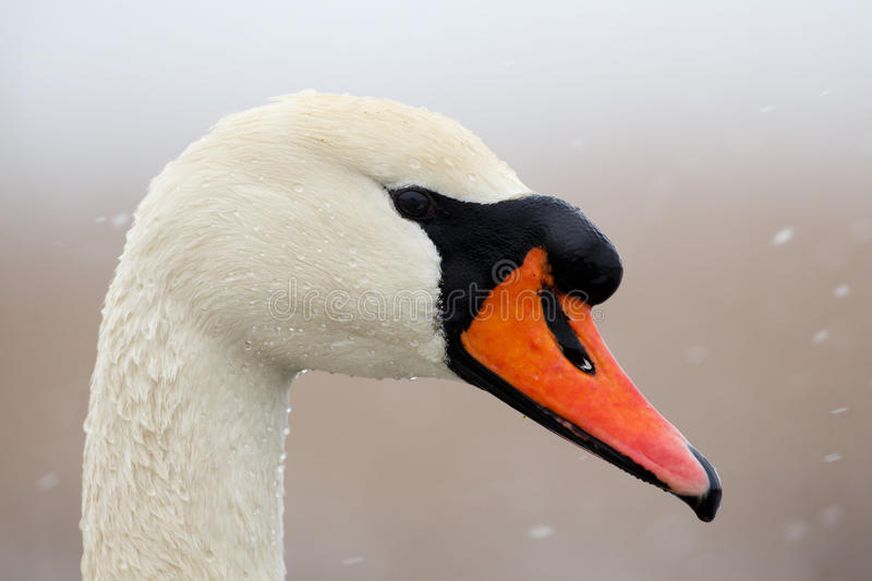 Portrait of mute swan royalty free stock image