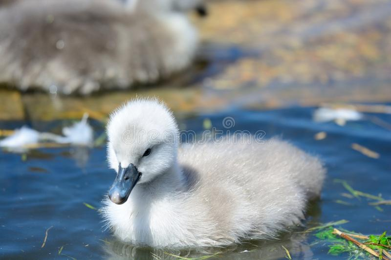 Cygnet swimming in the water royalty free stock images