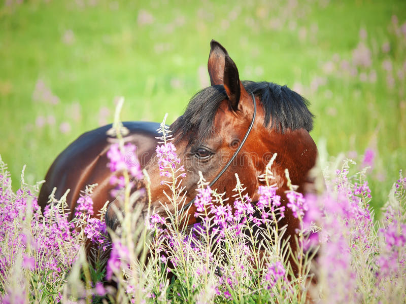 Portrait Of Nice  Bay Stallion Around Pink Flowers Royalty Free Stock Image