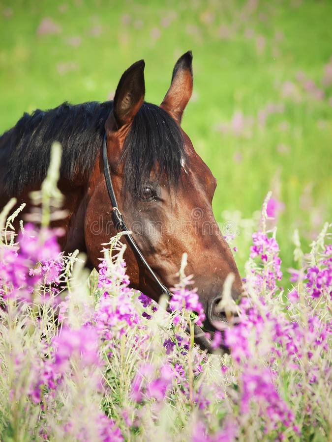 Download Portrait Of Nice  Bay Stallion Around Pink Flowers Stock Image - Image: 22334863