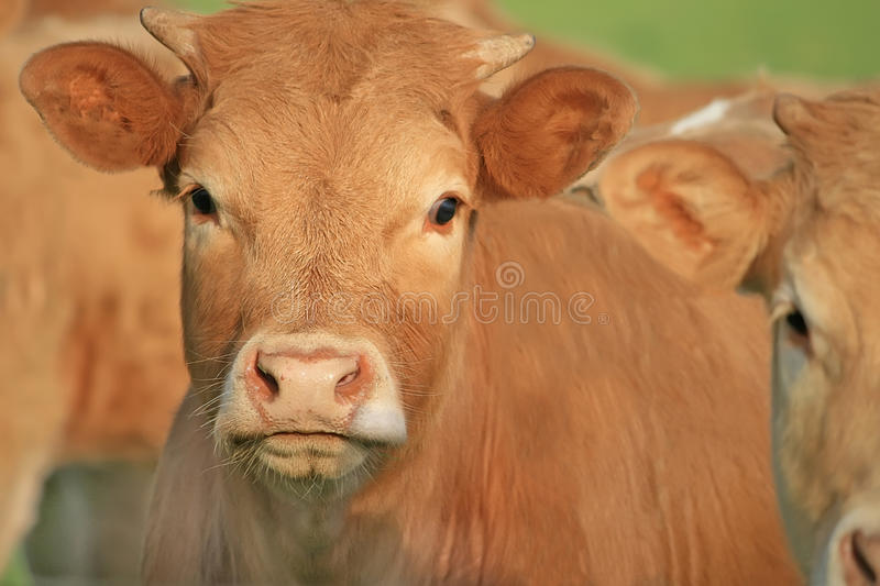 Download Portrait Of Nice Brown Cows In A Field Stock Photo - Image: 14855300