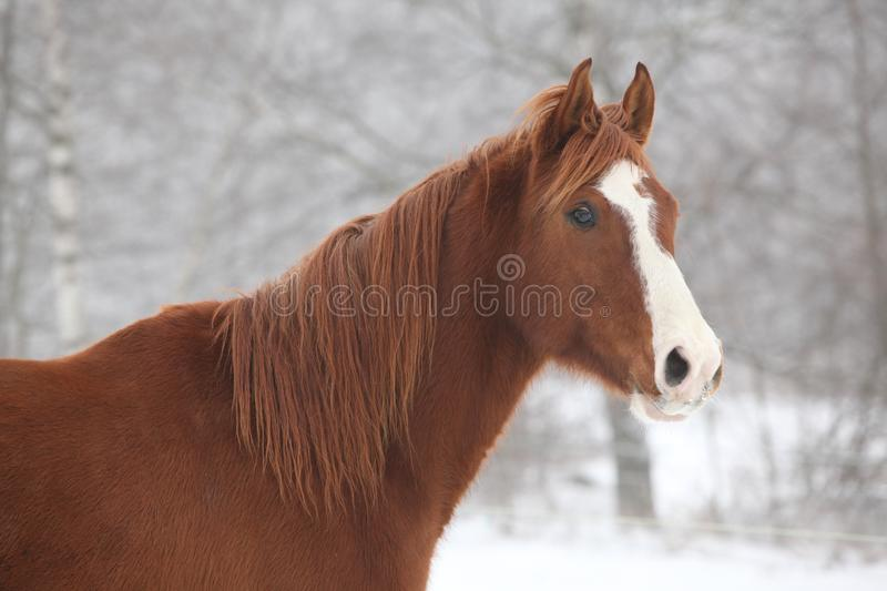 Portrait of nice chestnut horse in winter stock photography