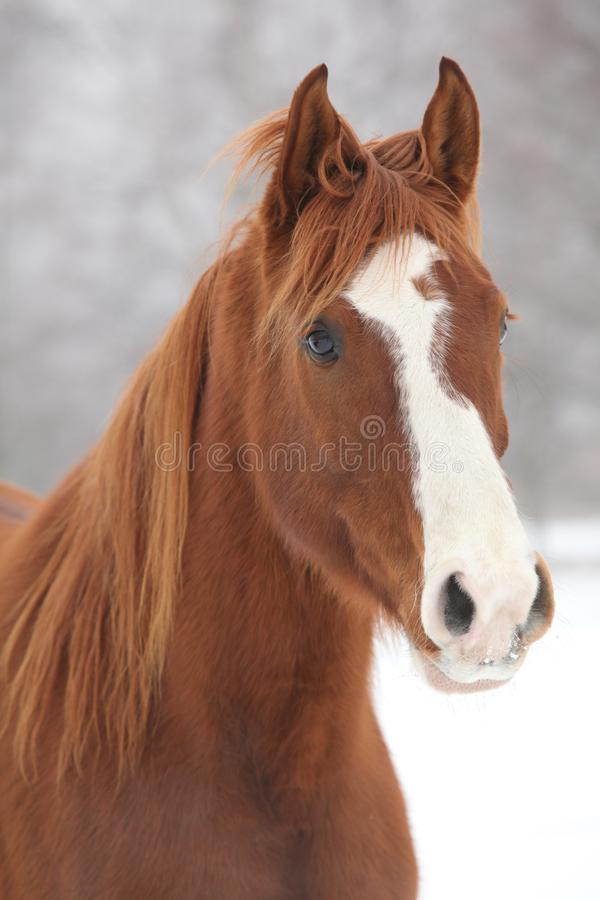 Portrait of nice chestnut horse in winter royalty free stock image