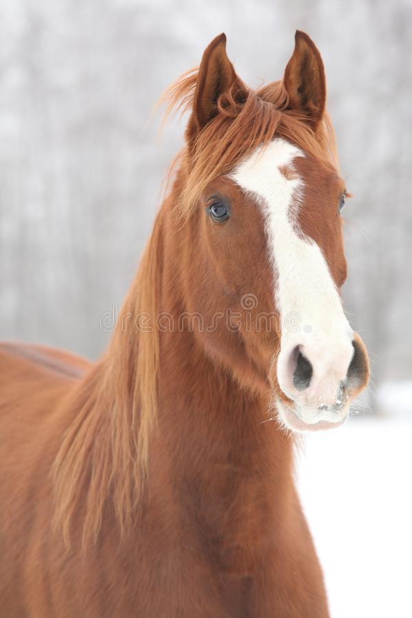 Portrait of nice chestnut horse in winter royalty free stock photography