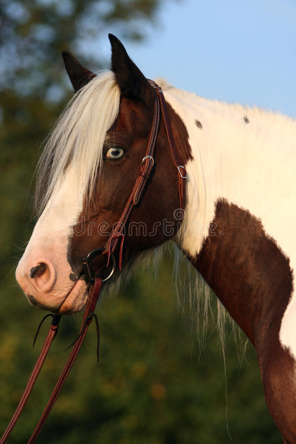 Portrait of nice horse - irish cob royalty free stock photography