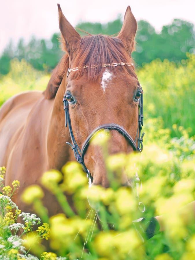 Portrait of nice red horse around yellow flowers stock photo