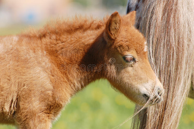 Portrait of nice welsh mountain pony foal royalty free stock image