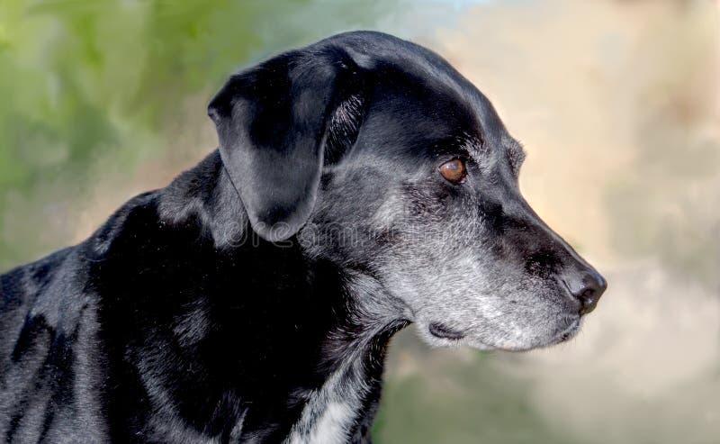 Portrait noir canin de laboratoire images stock