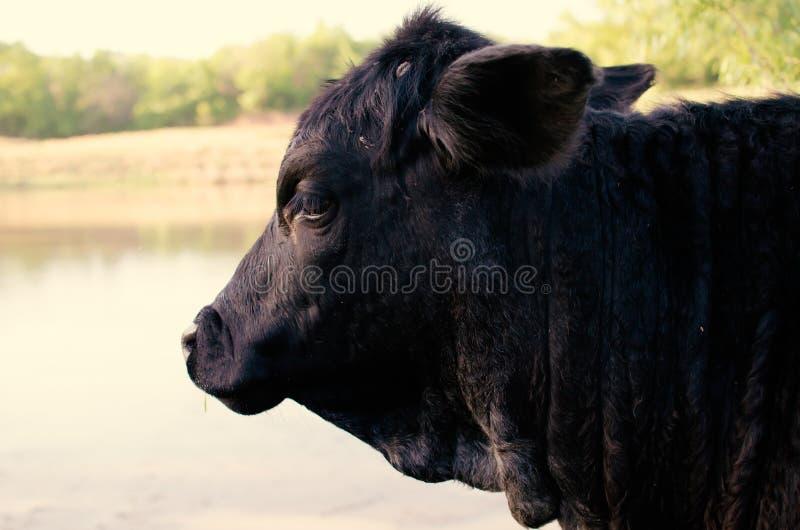 Portrait noir de profil de vache à Angus photos stock