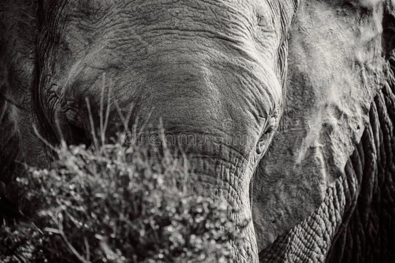 Portrait noir et blanc d'éléphant africain derrière le buisson en parc national images libres de droits