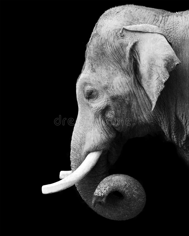 Portrait noir et blanc d'un éléphant photos stock