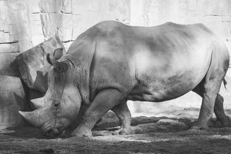 Portrait noir et blanc d'un rhinocéros blanc africain, simum de Ceratotherium, dedans photos stock