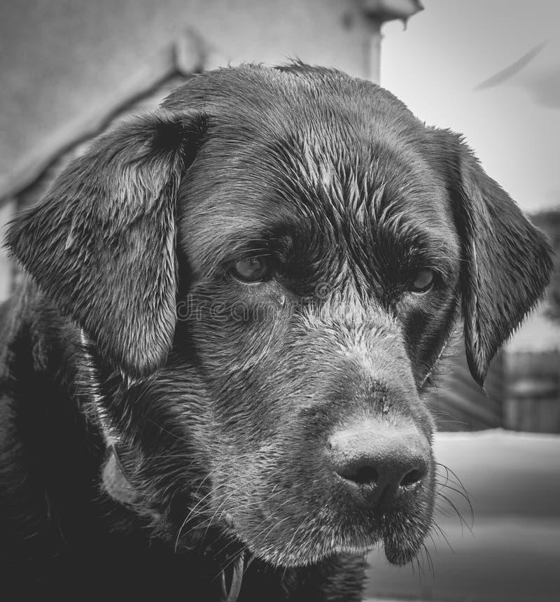 Portrait Noir Et Blanc De Black Labrador image stock