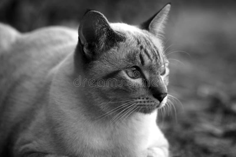 Portrait noir et blanc de chat Thaïlande au sol photo stock