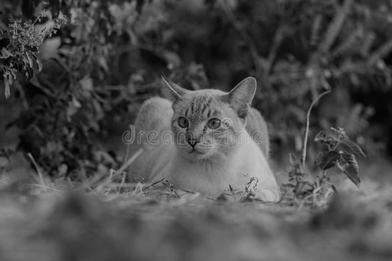 Portrait noir et blanc de chat Thaïlande au sol photographie stock