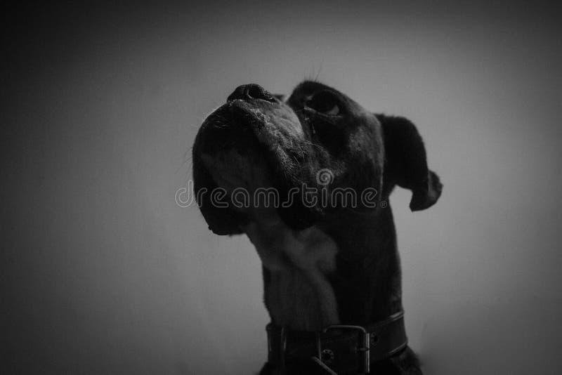 Portrait noir et blanc de chien image libre de droits