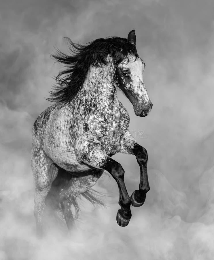 Portrait noir et blanc du cheval Appaloosa image stock
