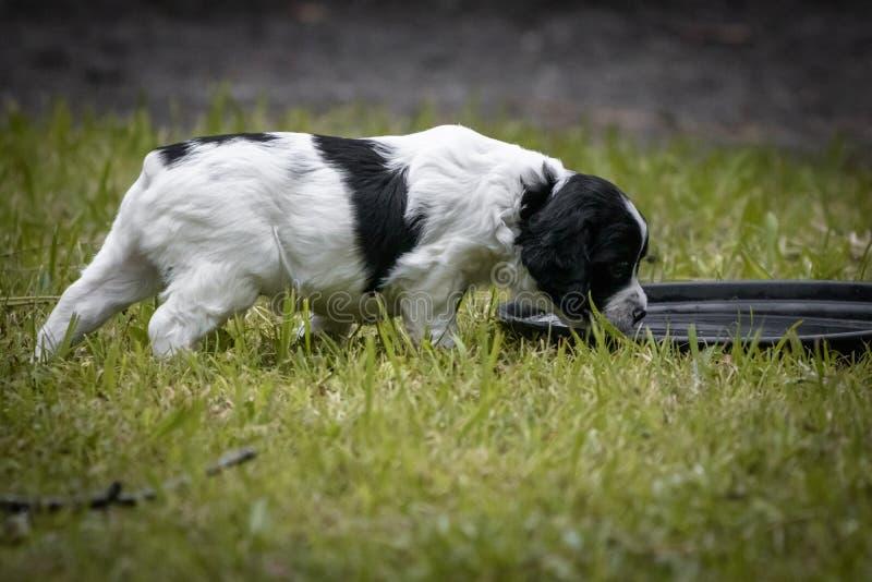 Portrait noir et blanc mignon et curieux de chiot de chien d'épagneul de Bretagne de bébé, eau potable  image stock