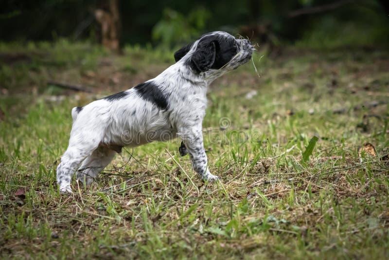 Portrait noir et blanc mignon et curieux de chiot de chien d'épagneul de Bretagne de bébé, jouant et explorant ayant l'amusement photos stock