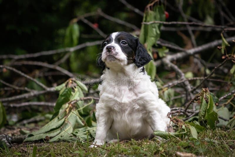 Portrait noir et blanc mignon et curieux de chiot de chien d'épagneul de Bretagne de bébé, jouant et explorant ayant l'amusement photo libre de droits