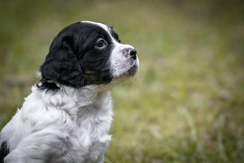 Portrait noir et blanc mignon et curieux de chiot de chien d'épagneul de Bretagne de bébé, jouant et explorant ayant l'amusement images stock