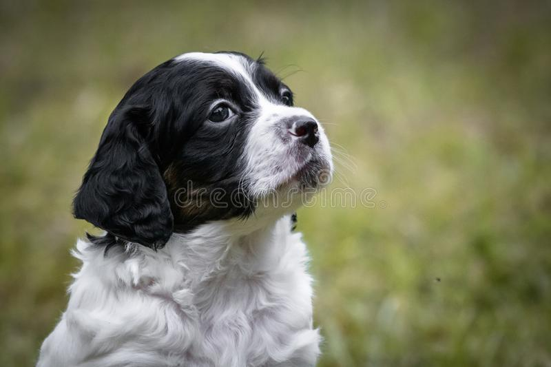 Portrait noir et blanc mignon et curieux de chiot de chien d'épagneul de Bretagne de bébé, jouant et explorant ayant l'amusement image stock