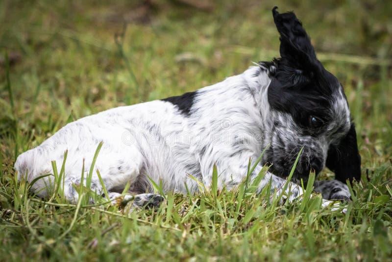 Portrait noir et blanc mignon et curieux de chiot de chien d'épagneul de Bretagne de bébé, jouant et explorant ayant l'amusement photographie stock
