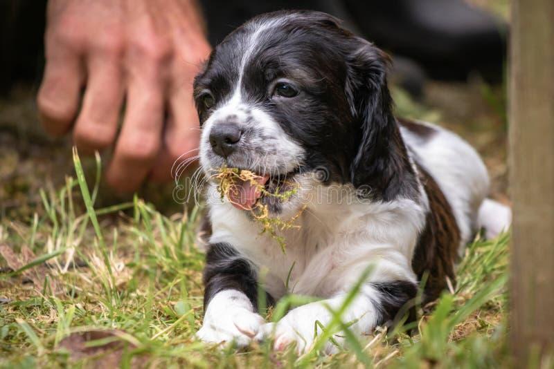 Portrait noir et blanc mignon et curieux de chiot de chien d'épagneul de Bretagne de bébé, jouant et mâchant l'herbe photo libre de droits