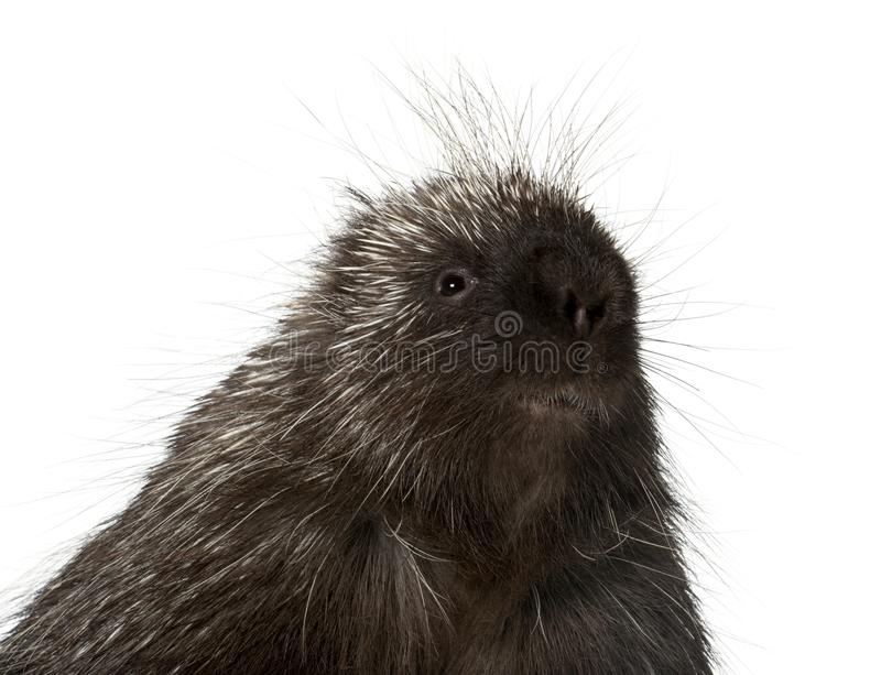 Portrait of North American Porcupine, Erethizon dorsatum, also k. Nown as Canadian Porcupine or Common Porcupine against white background royalty free stock image