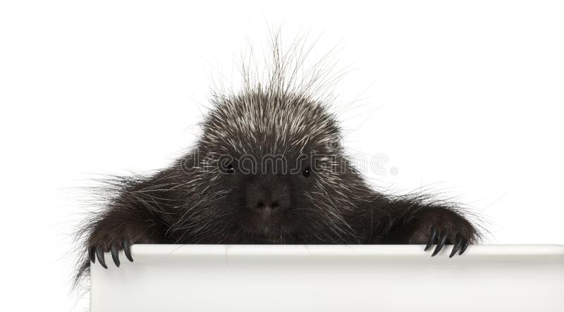 Portrait of North American Porcupine, Erethizon dorsatum. Also known as Canadian Porcupine or Common Porcupine getting out of box, e against white background stock images
