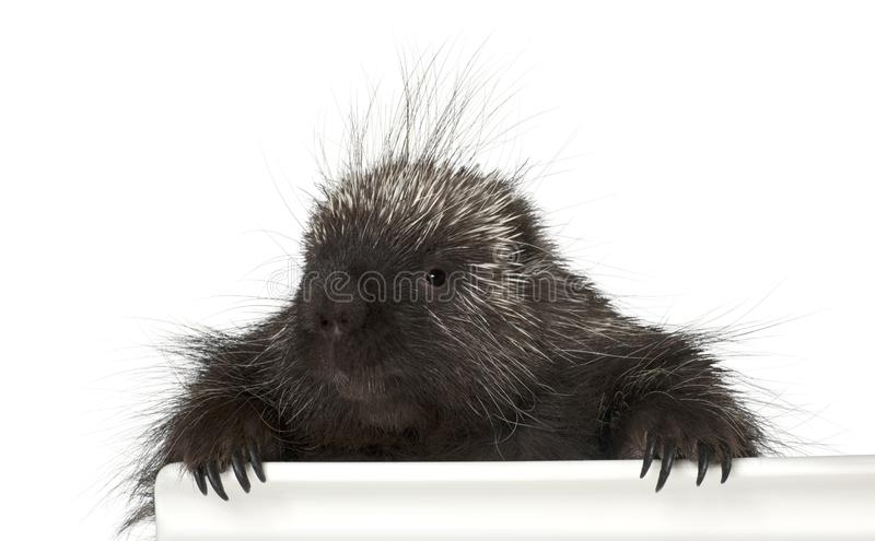 Portrait of North American Porcupine, Erethizon dorsatum. Also known as Canadian Porcupine or Common Porcupine getting out of box, e against white background royalty free stock photography