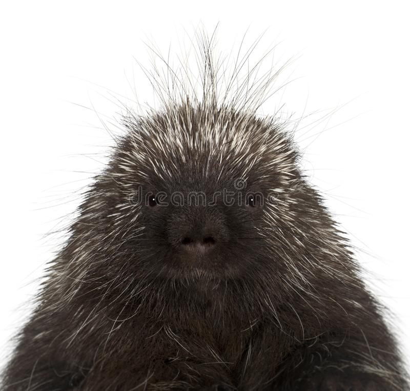 Portrait of North American Porcupine, Erethizon dorsatum, also k. Nown as Canadian Porcupine or Common Porcupine against white background royalty free stock photo