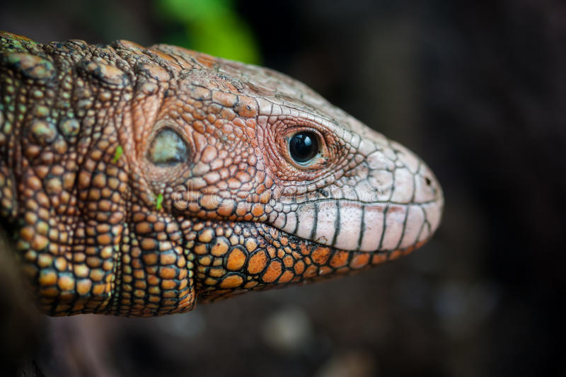 Download Portrait Of A Northern Caiman Lizard Dracaena Guianensis Stock Photo - Image: 83708370
