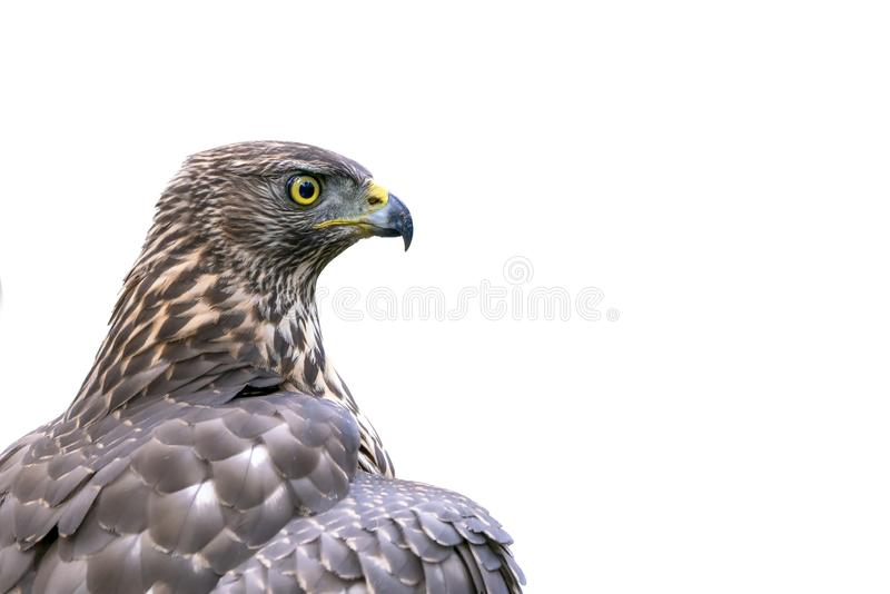 Portrait of a Northern Goshawk Accipiter gentilis. White background with writing space. stock photography