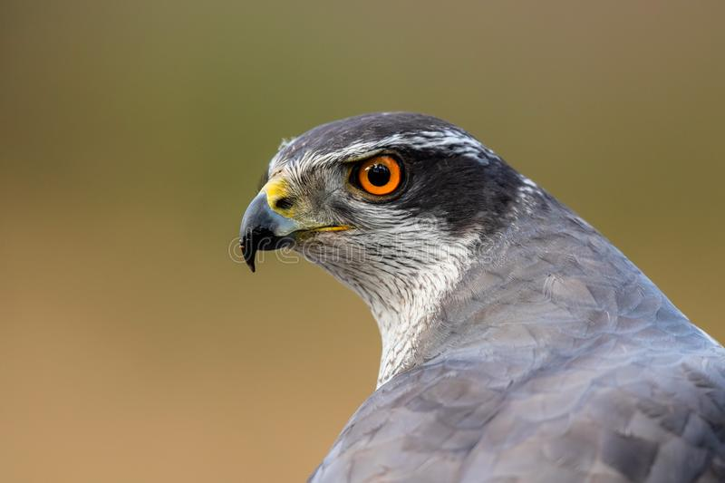 Portrait northern goshawk stock photography