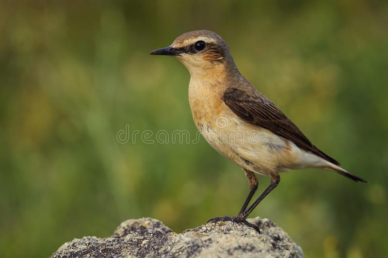 Portrait of the northern wheatear Oenanthe oenanthe stock image